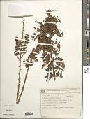 view Mimosa sceptrum Barneby digital asset number 1