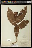 view Antidesma tomentosum Blume digital asset number 1
