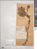 view Ficus virens Aiton digital asset number 1