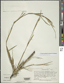view Yushania pantlingii (Gamble) R.B. Majumdar digital asset number 1