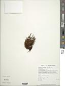 view Adenophorus hymenophylloides (Kaulf.) Hook. & Grev. digital asset number 1
