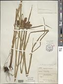 view Cyperus hypochlorus Hillebr. digital asset number 1