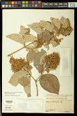 view Thryallis latifolia (Bartl.) Kuntze digital asset number 1