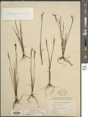 view Sisyrinchium montanum Greene digital asset number 1