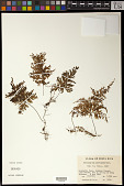 view Hymenophyllum microcarpum (Desv.) Lellinger digital asset number 1