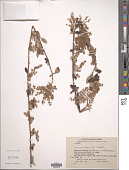 view Sericotheca fissa (Lindl.) Rydb. digital asset number 1