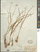 view Iris sisyrinchium L. digital asset number 1