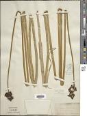 view Schoenoplectus lacustris (L.) Palla digital asset number 1
