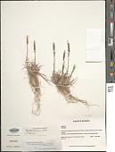 view Agrostis tolucensis var. andicola (Pilg.) Rúgolo & A.M. Molina digital asset number 1