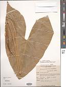 view Cyrtosperma merkusii (Hassk.) Schott digital asset number 1