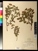 view Spiraea stevenii (C.K. Schneid.) Rydb. digital asset number 1