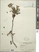 view Lysiloma sabicu Benth. digital asset number 1