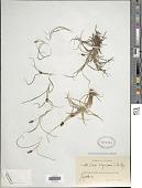 view Carex nigricans C.A. Mey. digital asset number 1