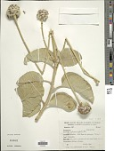 view Chresta sphaerocephala DC. digital asset number 1
