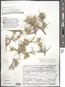 view Polygala intermontana T. Wendt digital asset number 1