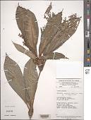 view Palisota ambigua (P. Beauv.) C.B. Clarke digital asset number 1