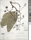 view Faramea miconioides Standl. digital asset number 1