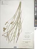 view Carex bicknellii Britton & A. Br. digital asset number 1