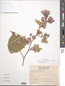 view Melochia oaxacana Dorr & L.C. Barnett digital asset number 1