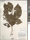 view Solanum truncatum Standl. & C.V. Morton digital asset number 1