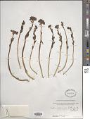 view Sedum roseum (L.) Scop. digital asset number 1