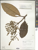 view Miconia chartacea digital asset number 1