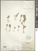 view Cuphea micrantha Kunth digital asset number 1