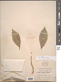 view Ficus pubinervis Blume digital asset number 1