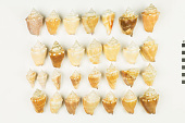 view Florida Fighting Conch, Florida Fighting Conch shells digital asset number 1