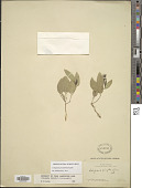 view Cologania procumbens Kunth digital asset number 1