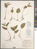 view Maianthemum canadense Desf. digital asset number 1