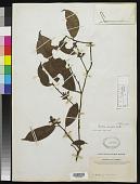 view Heisteria parvifolia Sm. digital asset number 1