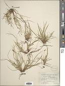 view Carex umbellata var. brevirostris Boott digital asset number 1