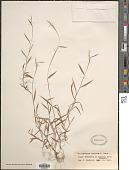 view Microstegium vimineum (Trin.) A. Camus digital asset number 1