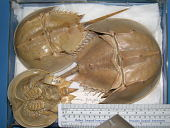 view Limulus polyphemus digital asset number 1