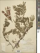 view Leucaena trichandra (Zucc.) Urb. digital asset number 1