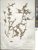 view Forestiera angustifolia Torr. digital asset number 1