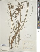 view Rhynchospora vulcani Boeckeler digital asset number 1