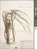 view Panicum mystasipum Zuloaga & Morrone digital asset number 1
