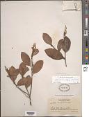 view Licania octandra (Hoffmanns. ex Roem. & Schult.) Kuntze subsp. octandra digital asset number 1