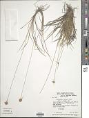 view Rhynchospora barbata (Vahl) Kunth digital asset number 1