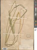 view Calamagrostis epigeios (L.) Roth digital asset number 1