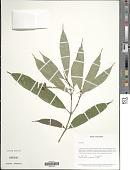 view Palicourea schunkei (C.M. Taylor) C.M. Taylor digital asset number 1