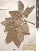 view Quercus brantii Lindl. digital asset number 1