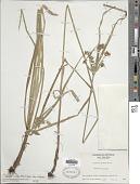 view Cyperus virens Michx. digital asset number 1