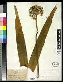 view Allium nigrum L. digital asset number 1