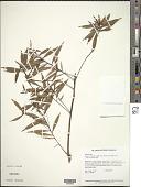 view Turnera rupestris var. frutescens (Aubl.) Urb. digital asset number 1