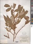 view Salix plocotricha C.K. Schneid. in Sarg. digital asset number 1