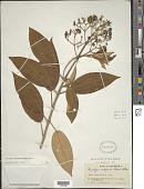 view Conostegia xylapensis digital asset number 1