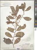 view Celastrus hindsii Benth. digital asset number 1
